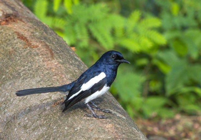 Burung Kacer Sumatera (tbparis.com)