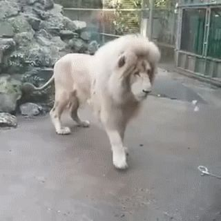 This was supposed to be cute and then some dickheads started whining because he's confined. He wouldn't survive in the wild by himself, and Albino Lions are endangered. Stfu he's safer in there.