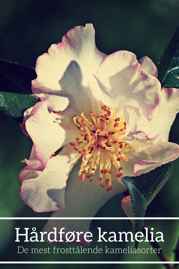 Liste over hårdføre kameliasorter. #kamelia #camellia #camelliajaponica #frostfølsom #hårdfør #frostfølsom #surbund #blomster #haveplanter #planter #blomstrendeplanter