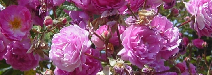 """The Fitzbek Rose Garden, a private rose garden dedicated to collect German roses of the """"Golden Era"""" of German rose breeding."""
