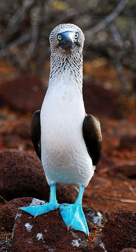 ~~A Blue Footed Booby, Galápagos Islands by Tristan27~~