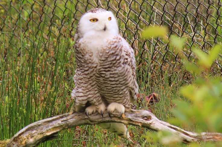 Snowy Owl, Salmonier Nature Park.