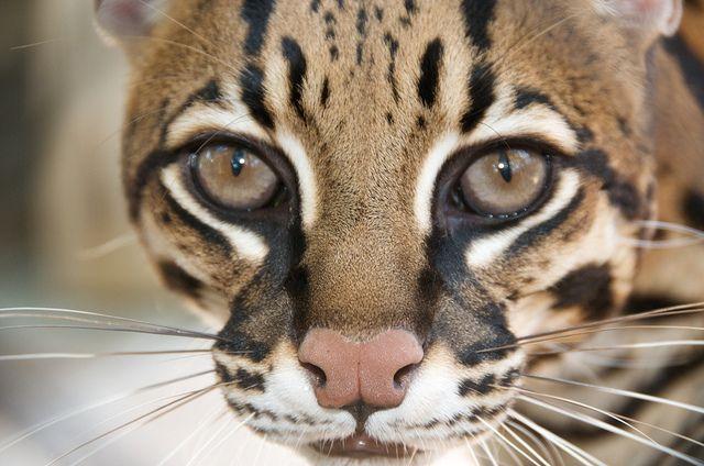 El ocelote: desconocido felino en peligro de extinción - FotosMundo.net