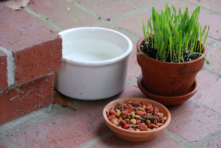 Bonnie's Pet Grass (edible grain) Prefers full sun and well-drained soil. Avoid overwatering. If the soil is kept too soggy, the roots could rot. For best growth, keep the potting mix evenly moist. Use care when fertilizing. If grass yellows or growth declines, water with Bonnie Herb & Vegetable Plant Food (soybean oilseed extract). Reaches up to a foot high. Plant it in a spot where a clump can grow to full size, or keep trimmed with scissors to 3 or 4 inches. When plant is gone, start…