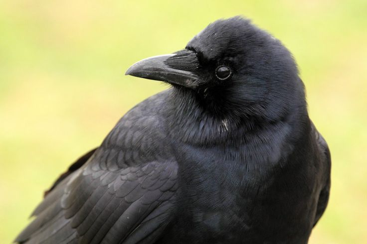 For the amateur bird watcher: how to establish a friendly relationship with the crows in your neighborhood, how crows communicate, and what they like to eat.