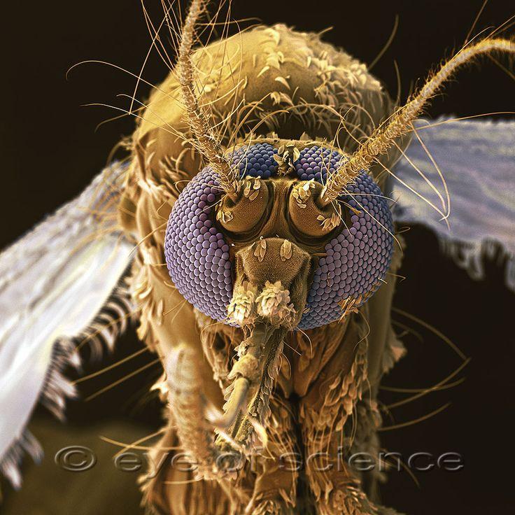Mosquito(Stegomyia aegypti, old: Aedes aegypti)  seen under an electron microscape