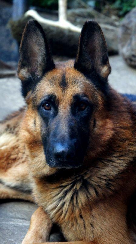 Perro raza Pastor Aleman