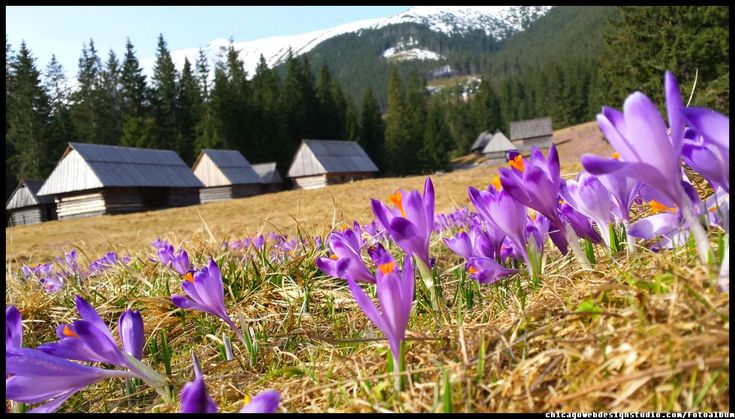 krokusy w Tatrach - Tatra Mountains - crocuses  #Tatry #Tatra #Mountains #Poland #Polska #krokusy #crocuses #krokus #wiosna #spring #krajobrazy #góry #flower #kwiaty #flowers #Zakopane #Dolina #Chochołowska #landscape #photography