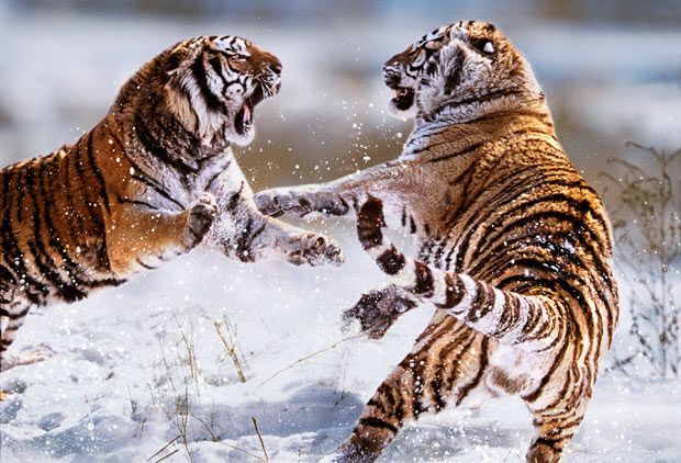 A slight misunderstanding between two Siberian tigers in northern China - photo by Steve Bloom