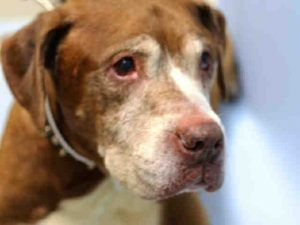 RTO SAFE ♡ BEAST – A1116907 NEUTERED MALE, BROWN / WHITE, LABRADOR RETR MIX, 14 yrs OWNER SUR – EVALUATE, NO HOLD Reason OWN EVICT Intake condition EXAM REQ Intake Date 06/29/2017, From NY 11208, DueOut Date 07/02/2017, I came in with Group/Litter #K17-102555.