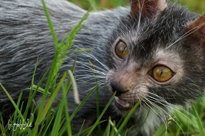 Lykoi cat - The Sphynx just got a whole lot more appealing...