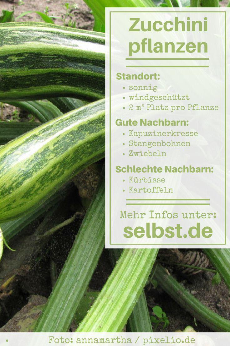 Zucchini Gehören Mittlerweile Zu Den Beliebtesten Pflanzen Im Gemüsebeet  Und Das Hat Gute Gründe: Sie