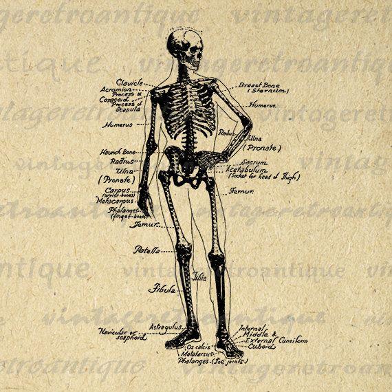 Human Skeleton Diagram Digital Printable Image Medical Anatomy Graphic Illustration Download Antique Clip Art 18x18 HQ 300dpi No.3859 @ vintageretroantique.etsy.com #DigitalArt #Printable #Art #VintageRetroAntique #Digital #Clipart #Download