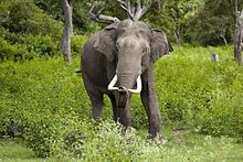 The Indian elephant (Elephas maximus indicus) is one of three recognized subspecies of the Asian elephant and native to mainland Asia. Since 1986, Elephas maximus has been listed as Endangered by IUCN as the population has declined by at least 50% over the last 60 to 75 years or three generations. Asian elephants are threatened by habitat loss, degradation and fragmentation. Elephas maximus (Bandipur).jpg