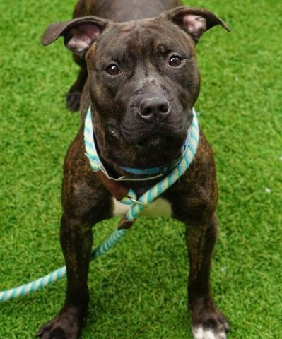 PEANUT BRITTLE - 16622 - - Manhattan  TO BE DESTROYED 12/28/2017 *PUBLICLY ADOPTABLE* -  Click for info & Current Status: http://nycdogs.urgentpodr.org/peanut-brittle-16622/