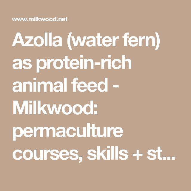 Azolla (water fern) as protein-rich animal feed - Milkwood: permaculture courses, skills + stories