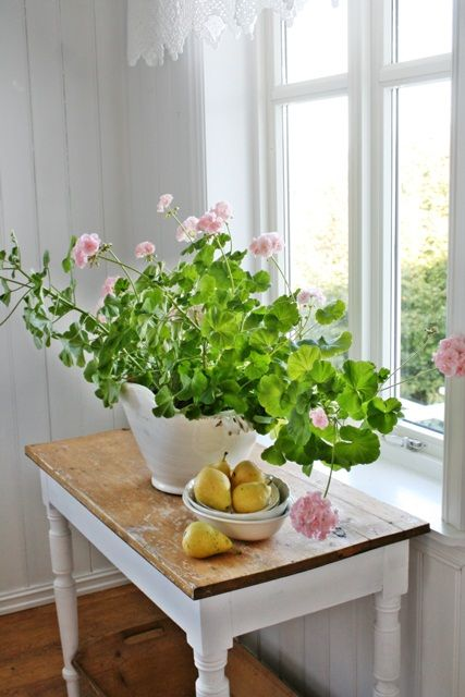 pink geraniums indoors look amazing