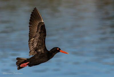 1st 2017 Birds in Flight Photography Shoots Woodbridge Island / Cape Town