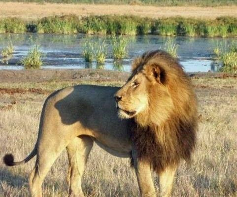 Cecil the Lion par Josephine Bestic       Cecil, Zimbabwe's most famous and photographed lion, was killed in mid-July 2015 just outside Hwange park by Minnesota dentist Walter Palmer. After luring Cecil from the protected park with bait, Palmer wounded him by bow-and-arrow, then tracked him for two days to kill, skin and decapitate him. Two from the safari company have been charged with poaching for the illegal killing.