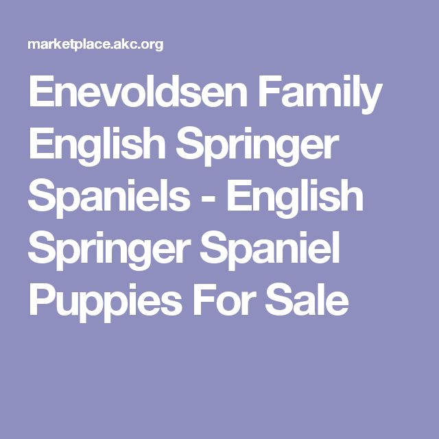 Enevoldsen Family English Springer Spaniels - English Springer Spaniel Puppies For Sale