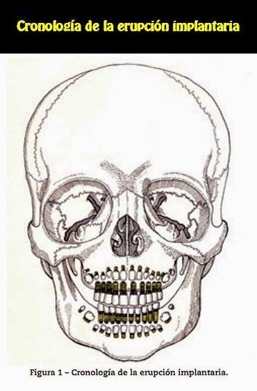Cronología de la erupción implantaria | OVI Dental