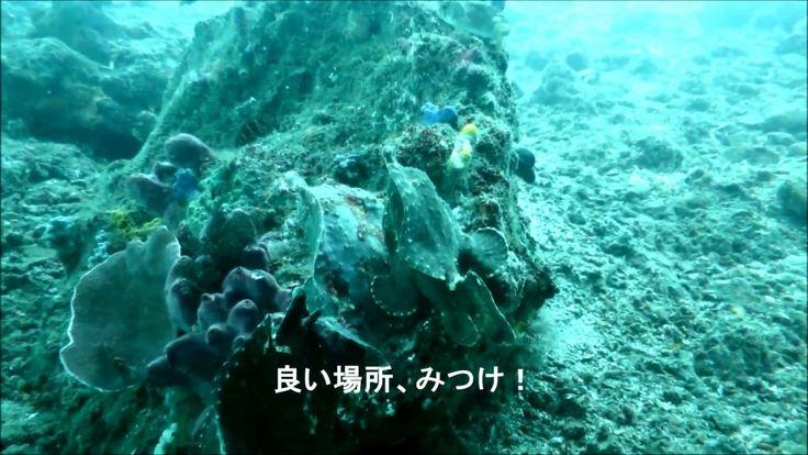 Bali Padangbai diving/ / バリ島ダイビング: バリ島 パダンバイ桟橋下で出会った泳ぐカエルアンコウ達