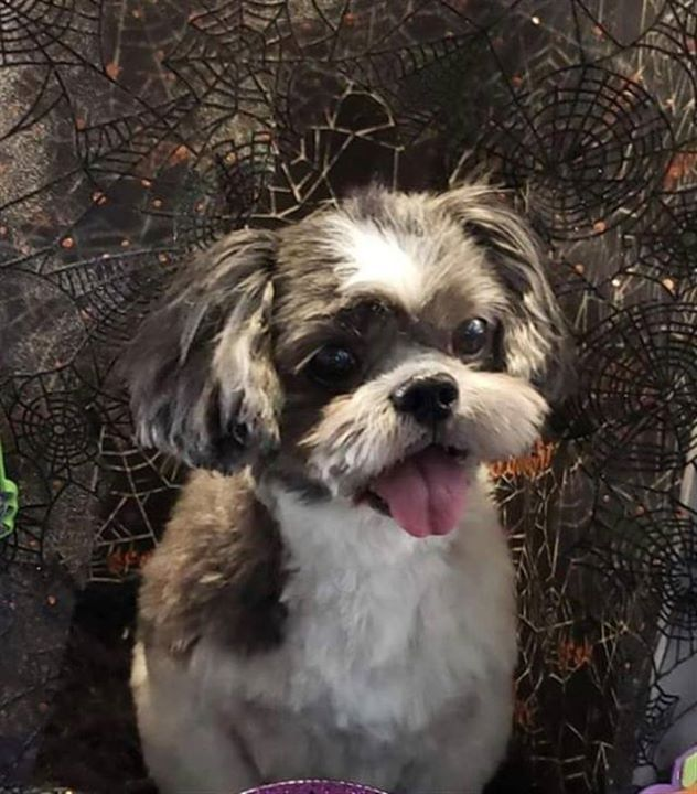 Lost Dog De Graff Shih Tzu Male Date Lost 10 20 2018 Dog S