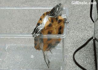 Petite tortue de Floride qui veut s'échapper de sa prison