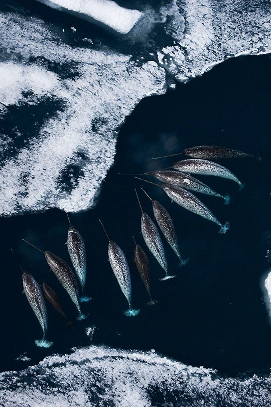 Narwhals in Sea Ice   AS