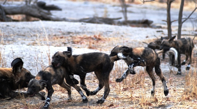 Wild Dog Puppies playing