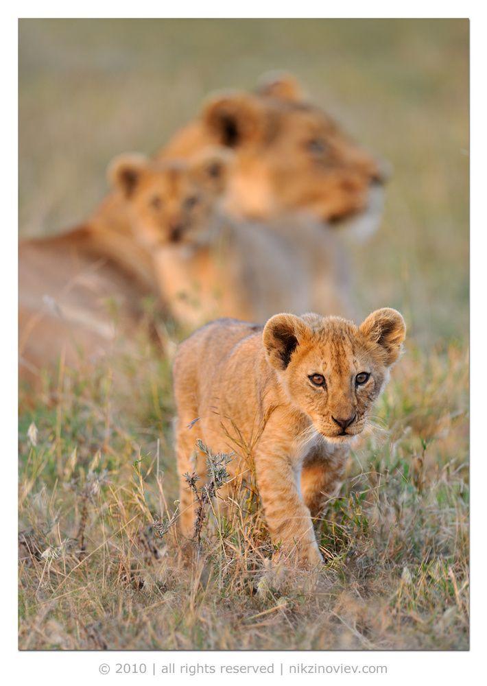 #лев #львица #львенок #дикие животные #африка #саванна #серенгети #танзания #николай зиновьев Photographer: Николай Зиновьев