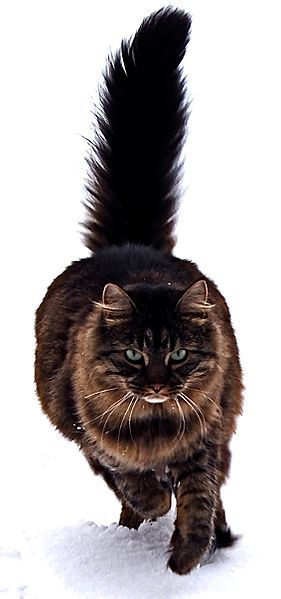 Maine  Coon Cat - gorgeous!
