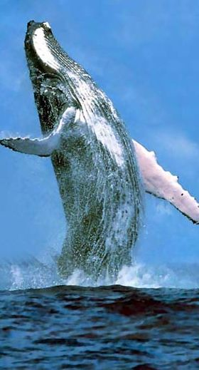 Breaching humpback at the Sanctuary of Humpback Whales in Samana, Dominican Republic • photo: Colonial Tours