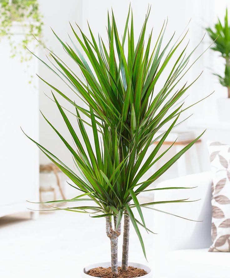 Dracaena - 80 cm. | Planten | Bakker Hillegom