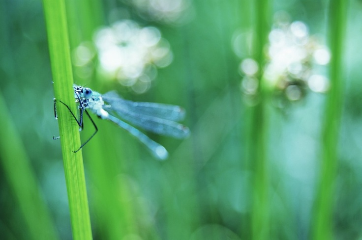 #insects #nature #grass #dragonflies #macro #summer #природа #макро #насекомые #лето #стрекоза http://elizarova.info/gallery/macro/