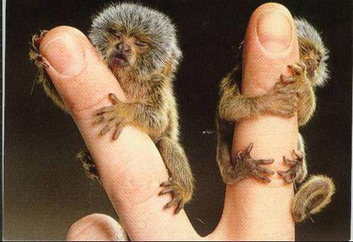 Baby spider monkeys