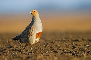Grey partridge (Perdix perdix) UK Farmland birds in the UK, such as Grey partridge, have declined by 50% between 1970 and 2012 mainly due to changes to intensification of farming Wildlife numbers plunge by 50% since 1970