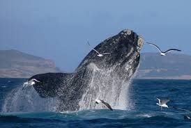Whale watching in the Garden Route South Africa