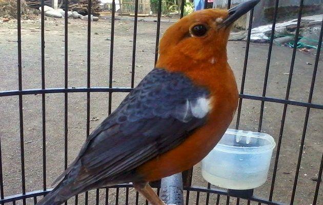 Mengenal Gambar Burung Anis Merah