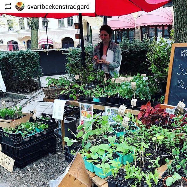 #Repost @svartbackenstradgard with @instatoolsapp  I maj står vi på #bondensmarknad på #katarinabangata och säljer småplantor av grönsaker och snittblommor. Även #sticklingsbyte (ta med en stickling och byt med oss) Hoppas vi ses där! Det finns hopp om våren! #statsodling #balkongodling #kolonilott #fönsterbräda #snittblomsrabatt #snittblomsplantor #snittblomsodling #cuttinggarden #grönsaksplantor #odlaeget #växtgäris #stadsodlingstockholm