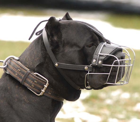 10 Images About Cane Corso Protector On Pinterest Cane