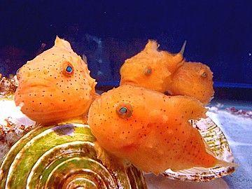 Balloon lumpfish (Eumicrotremus pacificus) フウセンウオ