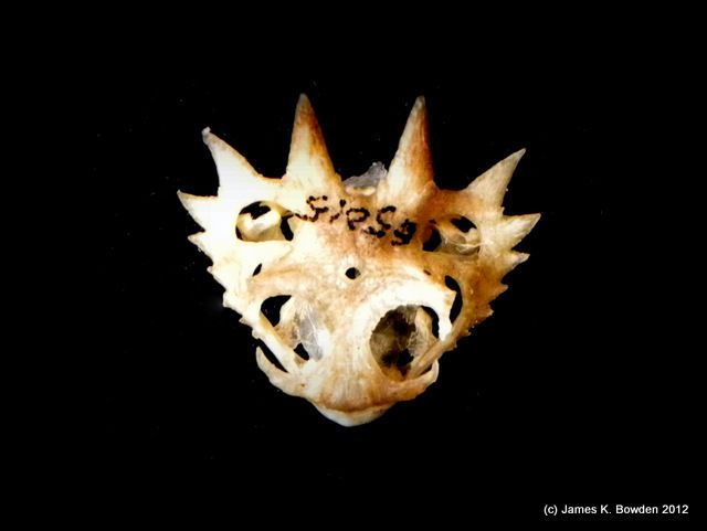 Desert Horned Lizard Skull on display at the San Diego ...