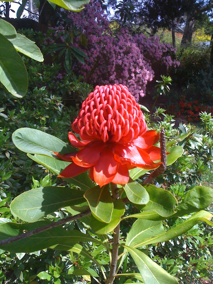 In bloom at Brantwood Cottage, Blackheath, Blue Mountains NSW Accommodation