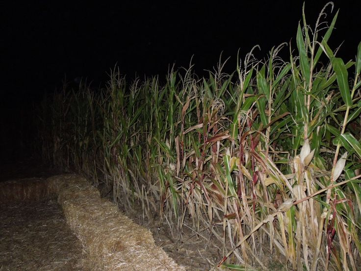 Haunted Corn Maze | random word of the day: A HAUNTED CORN MAZE