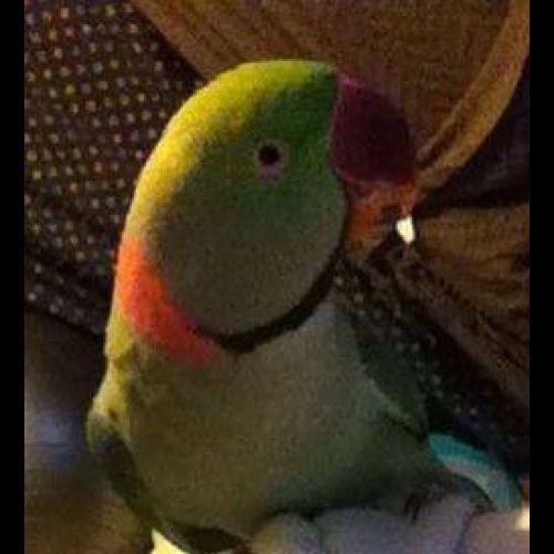 LOST: Baby http://ow.ly/DTn62 Male, Green, Alexandrian #Marsfield #Sydney NSW #LostBirdMarsfield #LostBirdSydney #LostBirdNSW #LostPetFinders