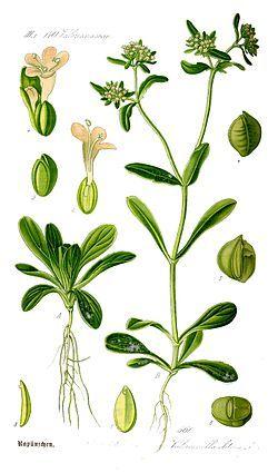Valerianella locusta ノヂシャ 野萵苣 ラプンツェル 欧米では若葉を食用としており、フランス語のマーシュ (Mâche) としても知られる。英語で、子羊が好むことからラムズレタス (Lamb's lettuce[3])、またトウモロコシ畑に野生でよく生えることからコーンサラダ (Corn salad) ともよばれる。
