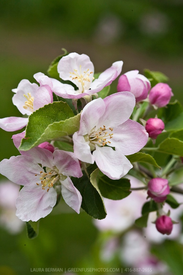 apple blossoms...