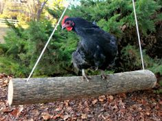 What are some ways to keep our chickens entertained?