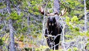 Moose calling Åre